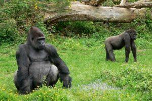 Gorilas del Parque de la Naturaleza de Carbáceno